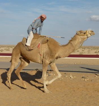 Camel in Palmyra, Syria