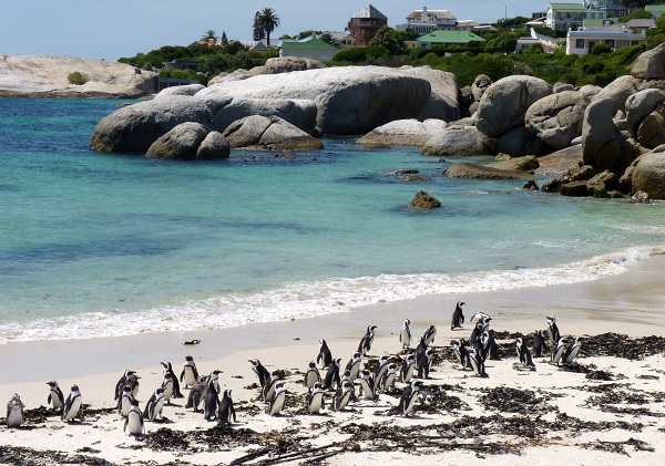 Penguins at Boulder&#039;s Beach, South Africa
