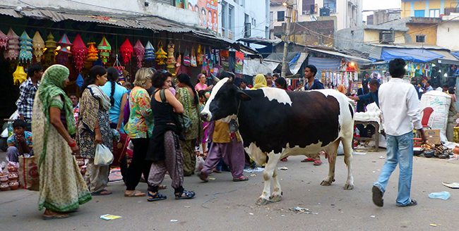Cow in Pahar Ganj