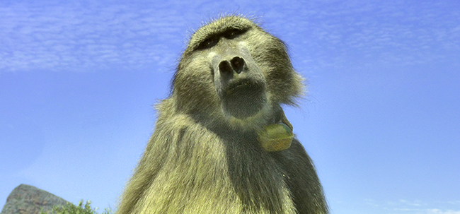 Travel Planning - Baboon in South Africa