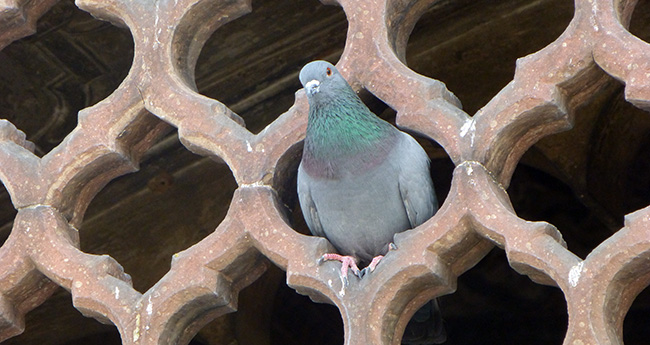 A Pigeon in the Wall