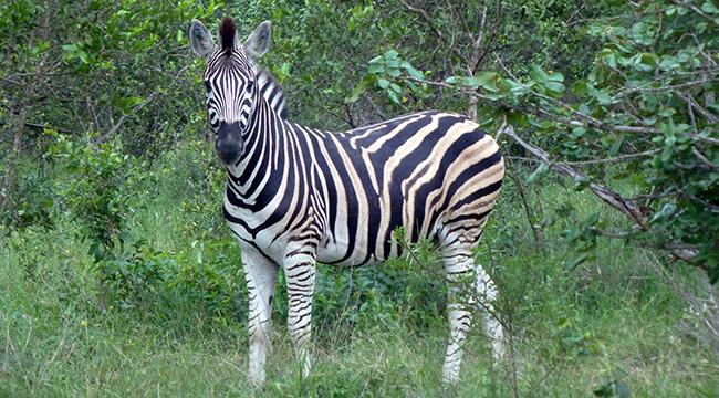 Zebra at Thornybush