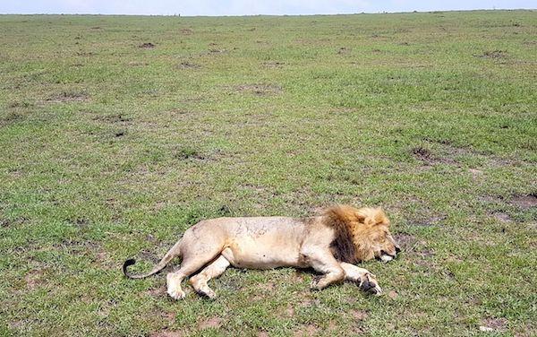 Masai Mara Safari - lion sleeping