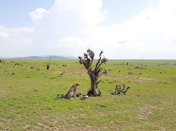 Masai Mara safari - cheetah