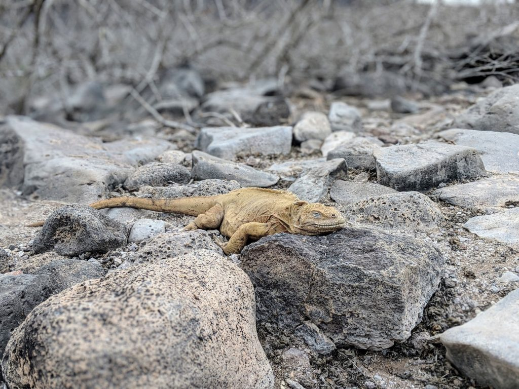 Galapagos Trip - land iguana