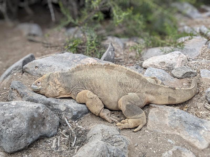 Galapagos Cruise - Land Iguana