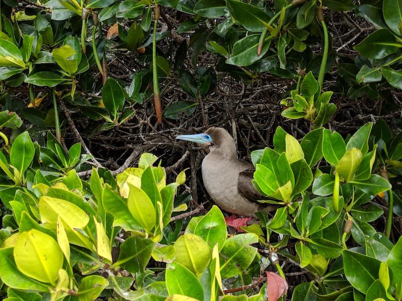Galapagos Cruise - booby