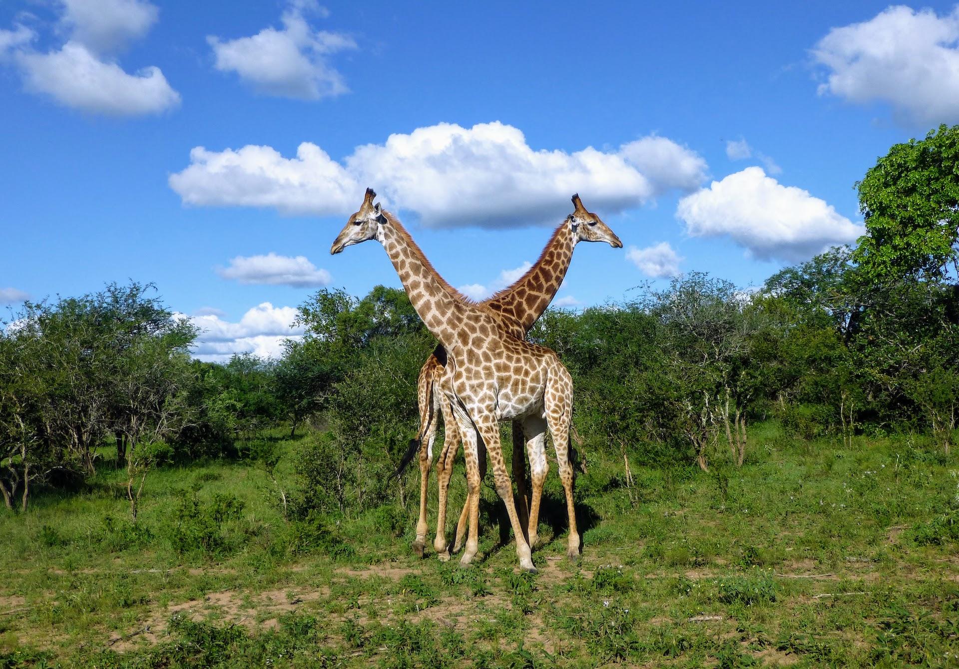 Kenya safari - giraffes