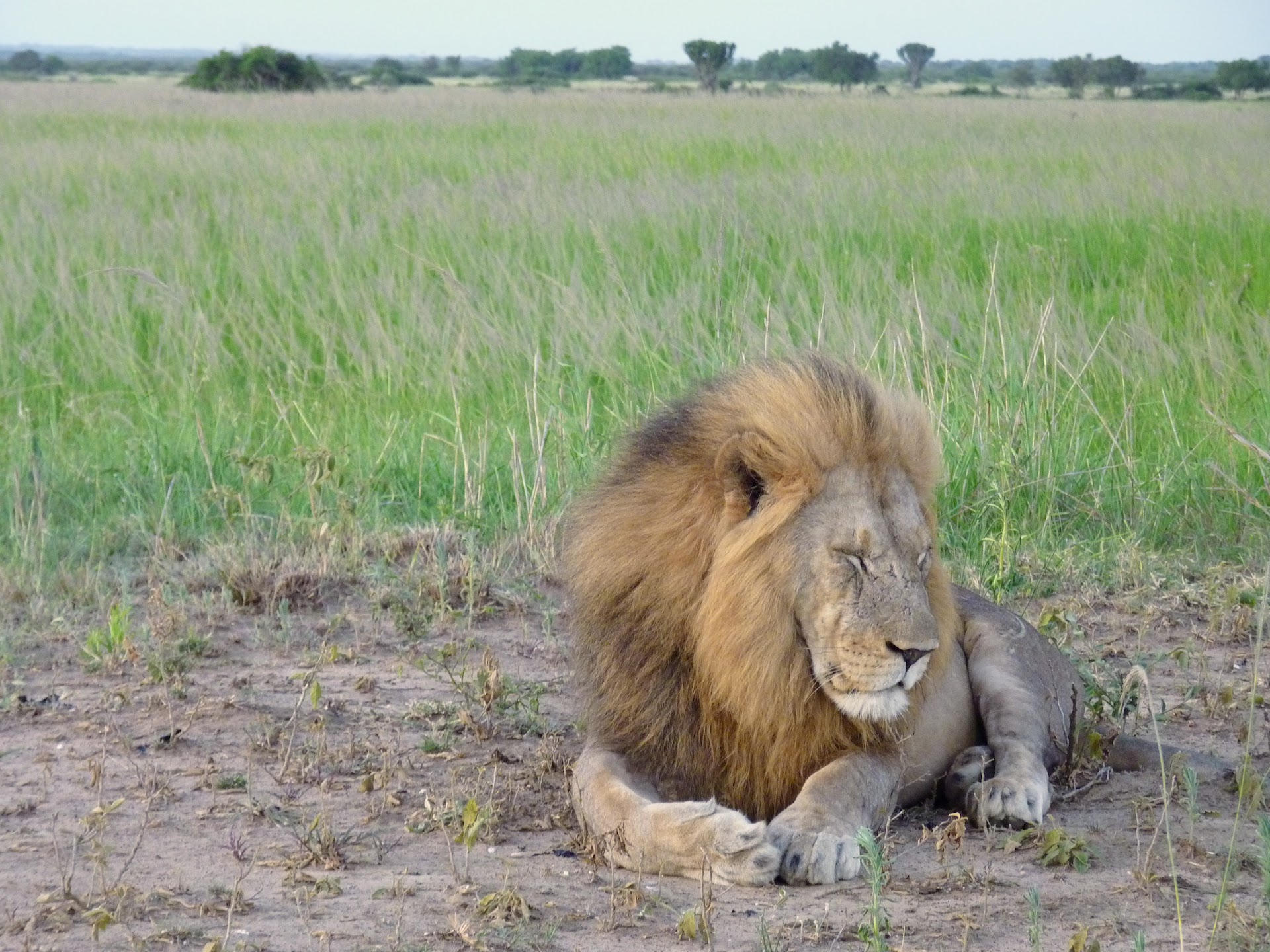 Kenya safari - lion